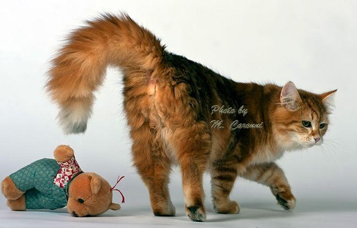 allevamento del gatto siberiano