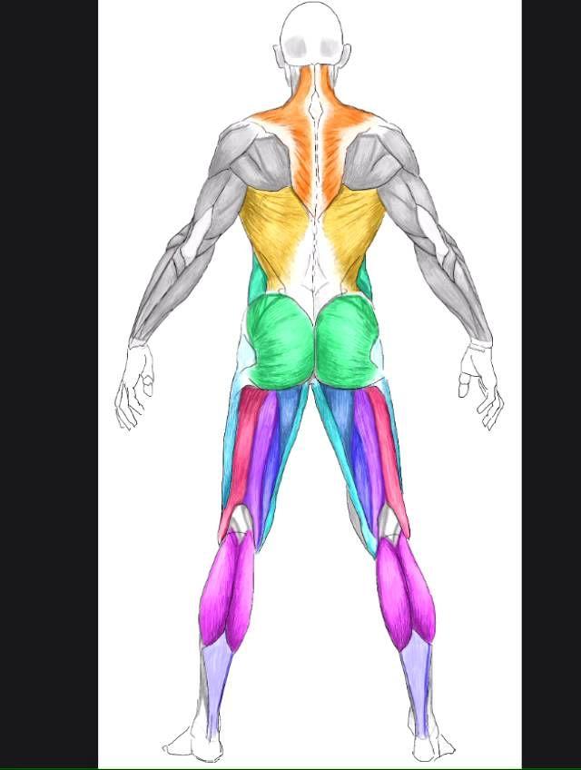 muscle of human - мышцы человека