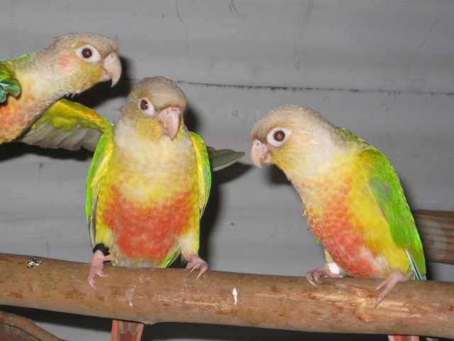 BREEDING PAIR OF PINEAPPLE CONURE - FOR SALE We have for sale a DNA sexed proven breeding pair of Pineapple conures. They are in good feather and good colour. They are two years old. The breeder also has two young Pineapple conures, for sale. Waiting on DNA test. They are three months old. All are quiet aviary birds. Can do a deal for all four.Thank you. READ MORE HERE http://bit.ly/1D0MCh9