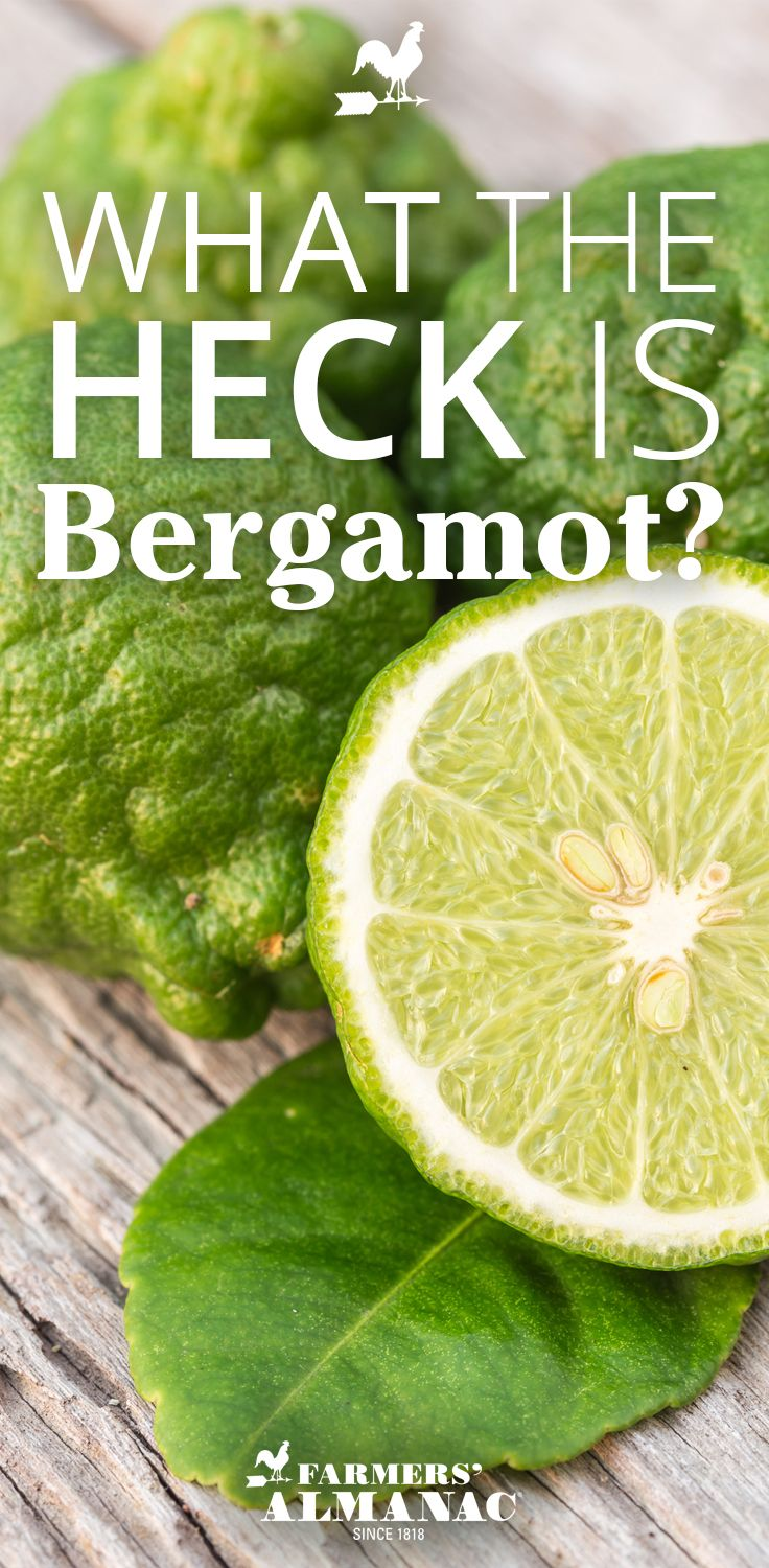 What The Heck Is Bergamot? - Farmers' Almanac Mediterranean citrus tree It's zest gives Earl Grey its distinctive flavor.