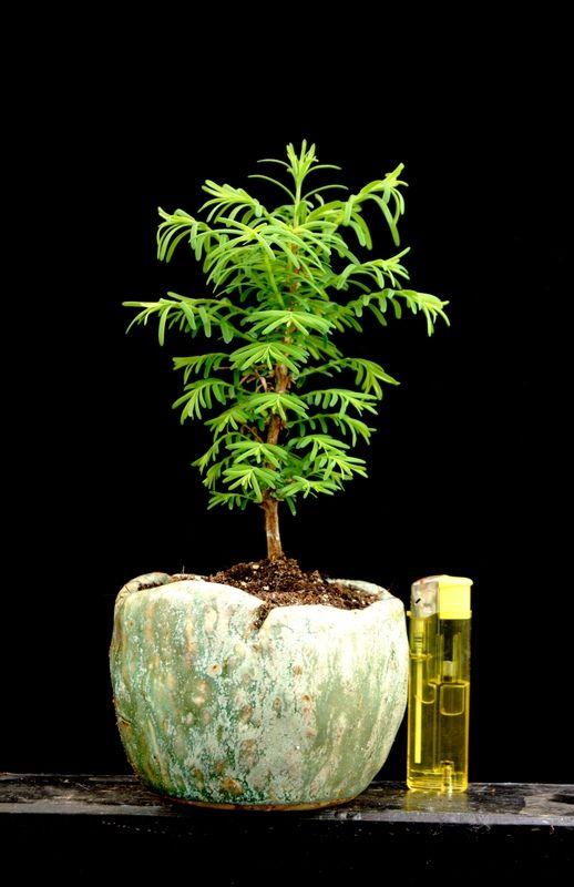 Kusamon Akzentschale Metasequoia Plant and Photo: Ulrich Fendrich Pot: www.akzentschalen.de