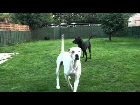 "Breeding a Bully Kutta Blog ""Massive dogs Mating"