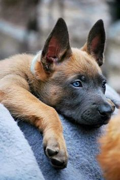 Belgium Malinois is a shorter haired Belgium Shepard. Its name is the French word for Mechlinian