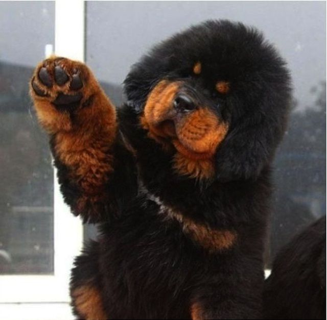 Tibetan Mastiff - If I were to ever get a dog (which I won't) this would be the kind I would want to get... yeah, they get up to 285 lbs... because if you're going to get a dog... get a FULL sized dog or get a ferret.  No in-between stuff...