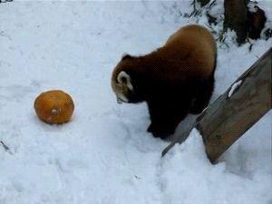 Red panda attack!