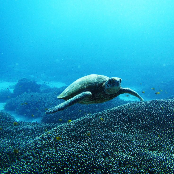 Scuba diving with the prehistoric-like marine life and observing lagoon life up close in the 'Green Zone' of the southern end of the Great Barrier Reef - Lady Elliot Island, Queensland, Australia #ladyelliotisland