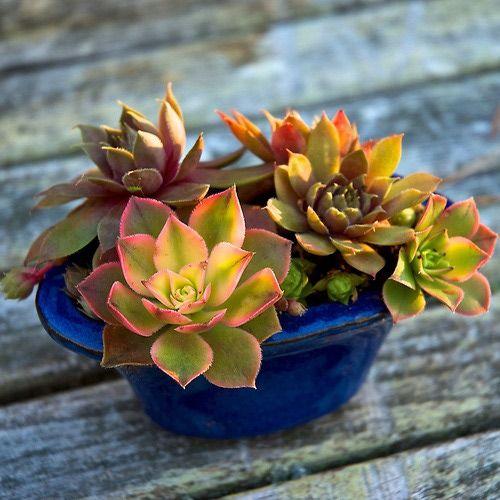 Miniature Succulent Plant Container Garden