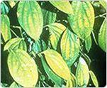 pepper plant deficiencies: yellow leaves, defective plant development
