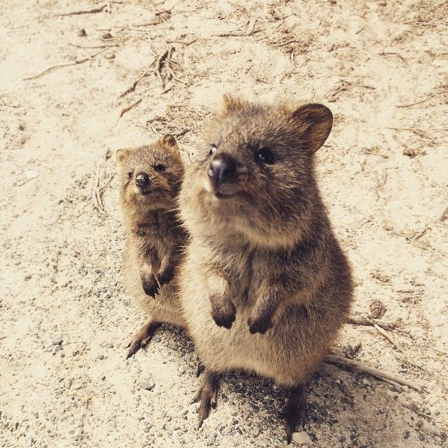 Momma and baby quokka