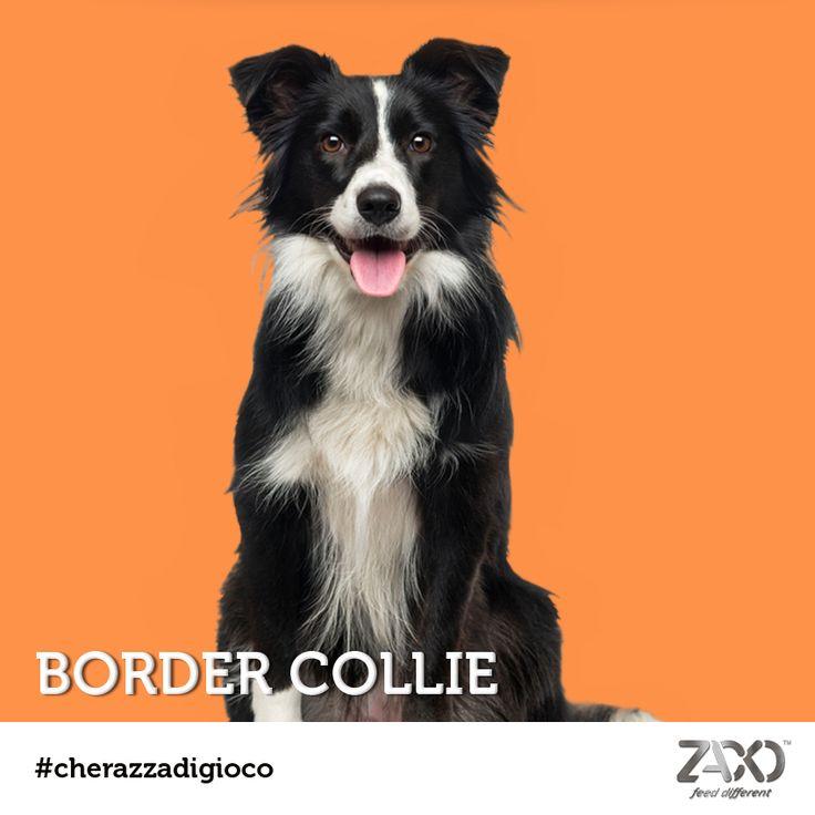 Avete indovinato al nostro #cherazzadigioco di oggi?  Si tratta di un vispo Border Collie!  Un cane estremamente intelligente, atletico, e molto molto obbediente. Sappiate che non è un cane casalingo e adora lavorare al fianco del suo padrone!   Lunedì prossimo una nuova sfida. ;)