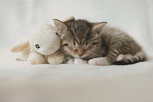 .: Cute Animal, Kitty Cat, Sleepy Kitty, Cute Cat, Cat Naps, Cuddling Buddy, Stuffed Animal, Cute Kittens, Sweet Dreams