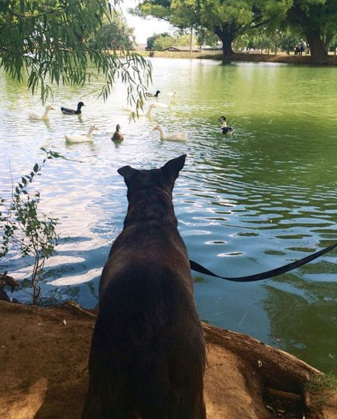 Eyeing up the ducks at Hillcrest Dog Park - Clovis, NM - Angus Off-Leash #dogs #puppies #cutedogs #dogparks #clovis #newmexico #angusoffleash