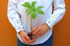 Growing a chestnut tree from seed requires you follow a few steps in order for the seedling to develop correctly.
