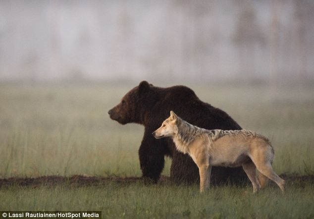 Bear strikes up unlikely friendship with a WOLF as photographer captures both animals sharing dinner on several nights