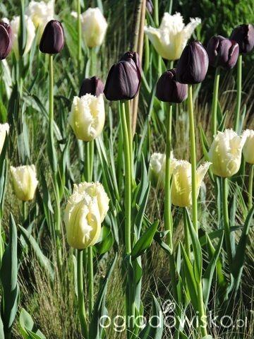 Zielonej ogrodniczki marzenie o zielonym ogrodzie - strona 681 - Forum ogrodnicze - Ogrodowisko