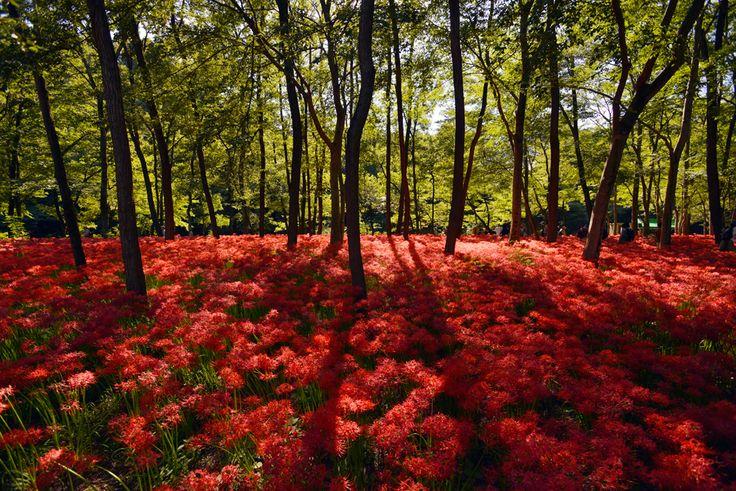 Red spider lilies in full bloom grow at the Kinchakuda park in Hidaka, Saitama prefecture, near Tokyo, Japan