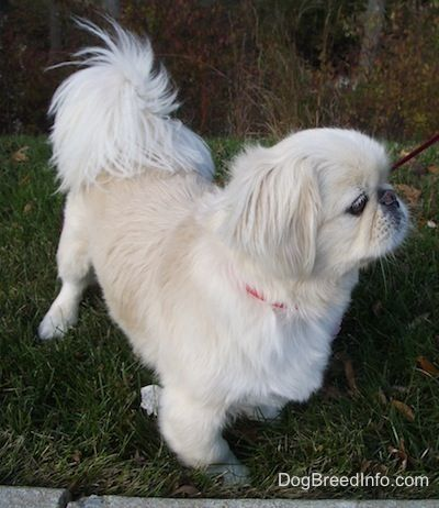 pekingese haircuts | Schuster the white Pekingese at 10 years old grroomed in a puppy cut ...