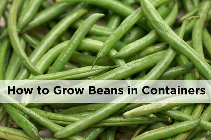 Want to know how to grow beans in pots and containers?  Here we explain how to grow runner beans, french beans and even sweet peas in pots and containers.