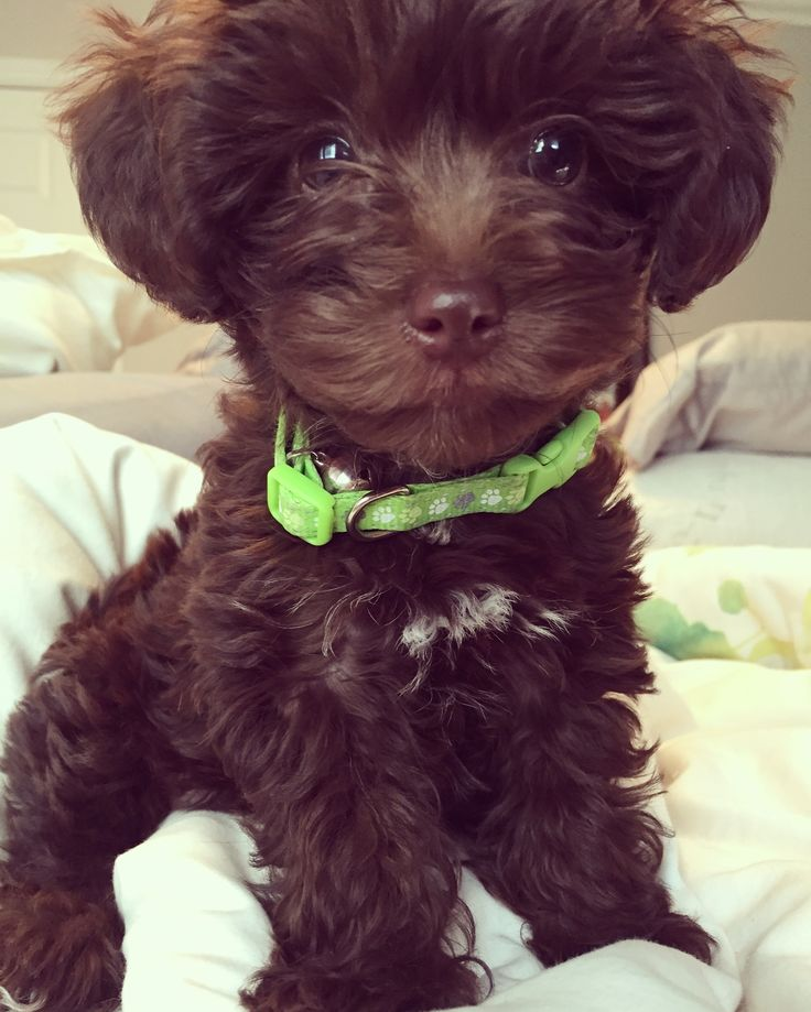 Chocolate Brown Maltipoo Puppy - Tap the pin for the most ...