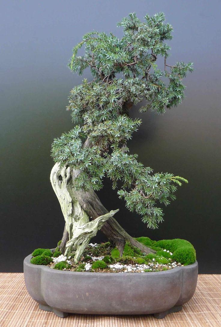 Juniperus Communis Bonsai Matsu E Bonsai Pinterest