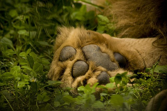 Category: Lion's Paw