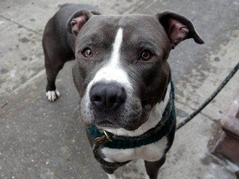 RETURNED!!! SAFE RTO 2/6/16!!! SUPER URGENT Manhattan Center BLEU aka SPALDING – A1063609 ***RETURNED 05/27/16*** NEUTERED MALE, BLUE / WHITE, AMERICAN STAFF / AM PIT BULL TER, 2 yrs, 4 mos RETURN – ONHOLDHERE, HOLD FOR ID Reason MOVE2PRIVA Intake condition UNSPECIFIE Intake Date 05/27/2016, From NY 10038, DueOut Date05/30/2016