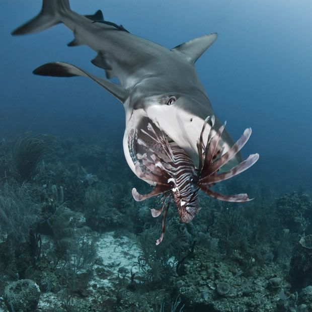 Divers are training sharks to hunt toxic lionfish, which have invaded a reef near the Island of Roatan, 30 miles off the coast of Honduras. The poisonous fish are not native to the Caribbean, but have flourished after being released from fish tanks. Desperate to protect their livelihood, local fisherman and divers came up with the idea of training the sharks to eat the lionfish, which they had avoided because of their spikes. Divers do this by spearing the lionfish, but leaving them alive, so sh