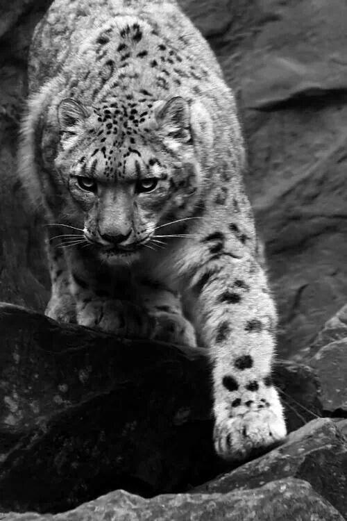 ☆★♡♥ snow Leopard
