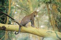 El leopardo, Panthera pardus, es uno de los mayores felinos depredadores de las selvas y sabanas africanas; emplea su fortaleza para subir s...
