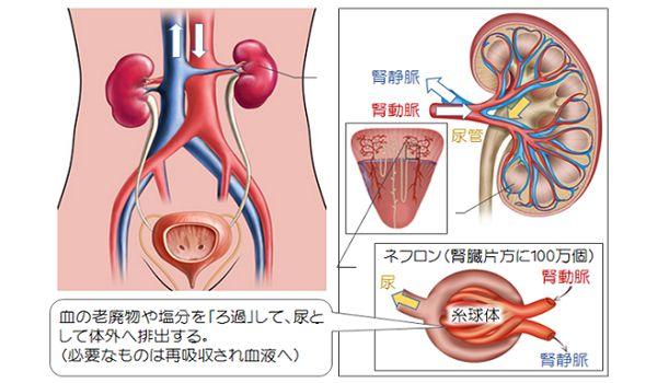 小さな臓器、腎臓。「血液ろ過・水分調整・血圧調整・赤血球生成・カルシウム吸収」など、様々な働きに関係しています。ここでは、腎臓の働きを詳しく解説、養生法もご紹介します。