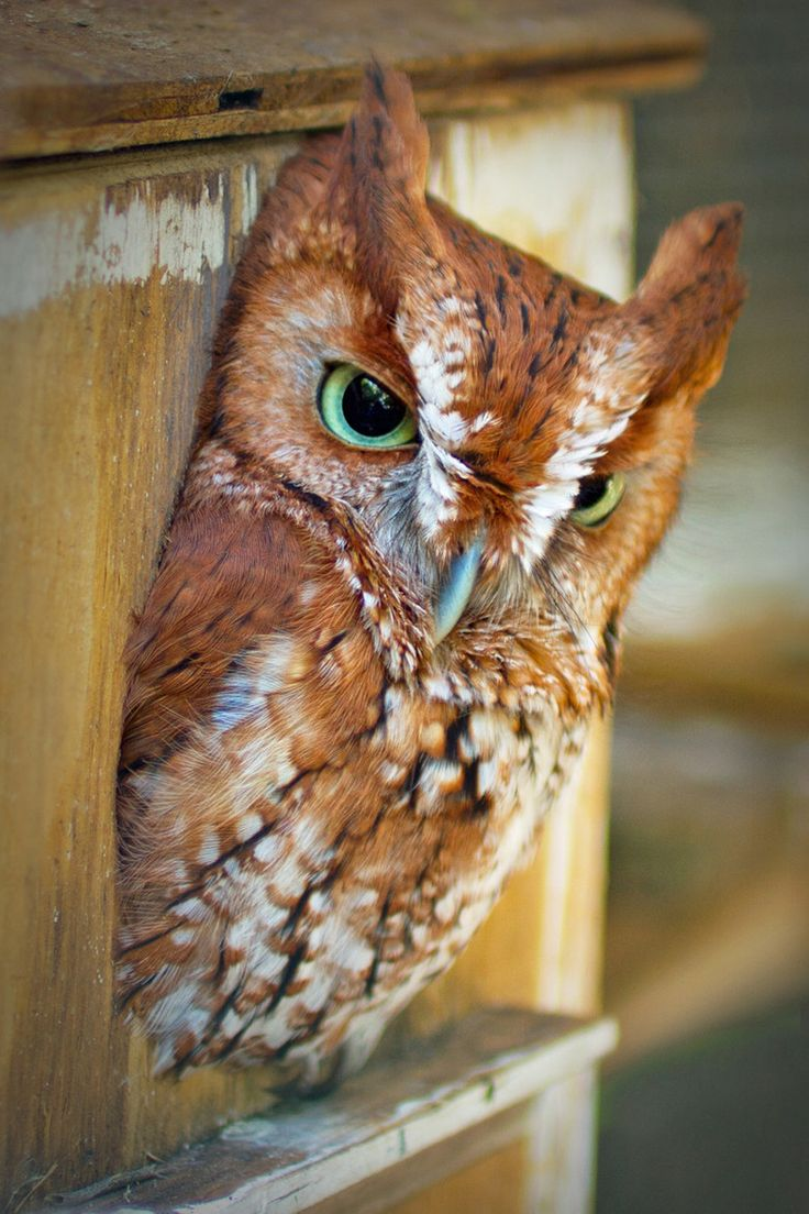 """Owl with Green Eyes. I love this type of owl because they always seem annoyed XD like """"can you really be that stupid?....apparently you can."""" Haha"""