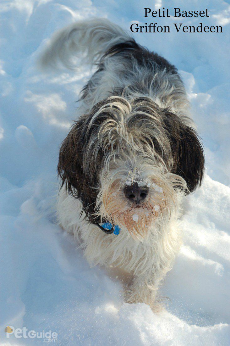 Petit basset griffon vendeen the o 39 jays dogs and frances o 39 connor - Petit basset hound angers ...