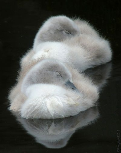 island of silence — janetmillslove:   Sweet Little Cygnets moment love