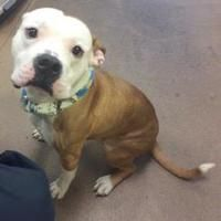 Washington, D.C. - American Bulldog. Meet Echo, a for adoption. https://www.adoptapet.com/pet/20068223-washington-dc-american-bulldog-mix