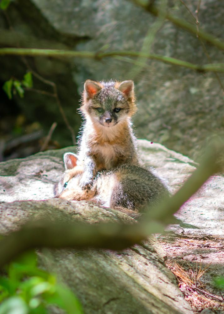 Grey Fox Cubs by Joel Bailey on 500px