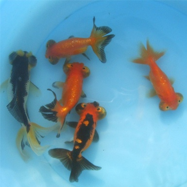 27 best images about celestial goldfish on pinterest for Breeding pond fish