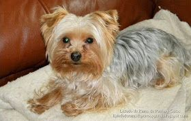Imagen de un precioso perro Yorkshire Terrier (Yorky) despues de un baño ralajante. Raza de perros (Image of a Yorkshire Terrier (Yorkie) after a relaxing bath. Breed of dogs)