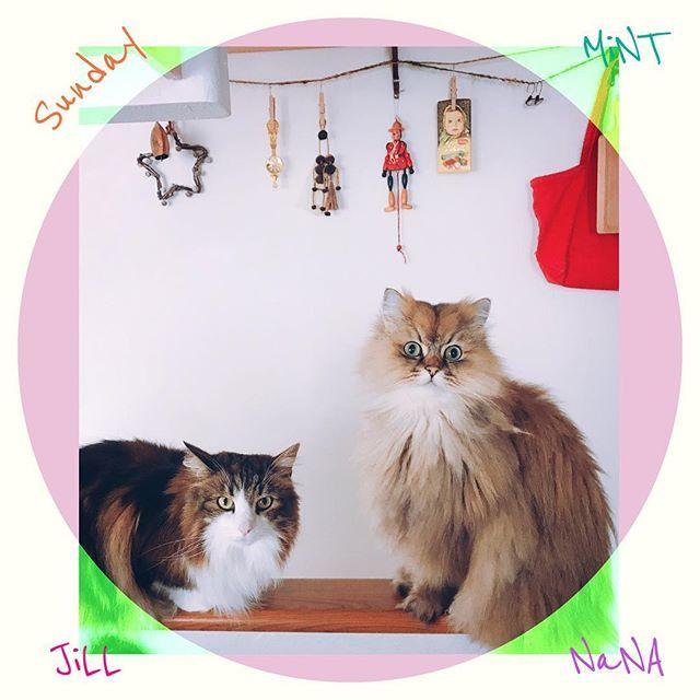 雨模様の日曜日☁︎☁︎☁︎ おウチでことこと鶏肉のトマト煮を煮込んでいると、2匹が並んで、私の作業を見守っていてくれる🍅🍅 そのうち、料理を覚えて作ってくれるかもしれない😊 #cat #cats  #猫 #愛猫  #チンチラ  #チンチラゴールデン  #ノルウェージャンフォレストキャット  #癒され猫  #札幌ねこ部  #猫好き  #ねこ #ねこずきさんと繋がりたい #sunday #日曜日 #運動会 #雨模様 #トマト煮 #トマト煮込み #うちごはん #料理 #お手伝い