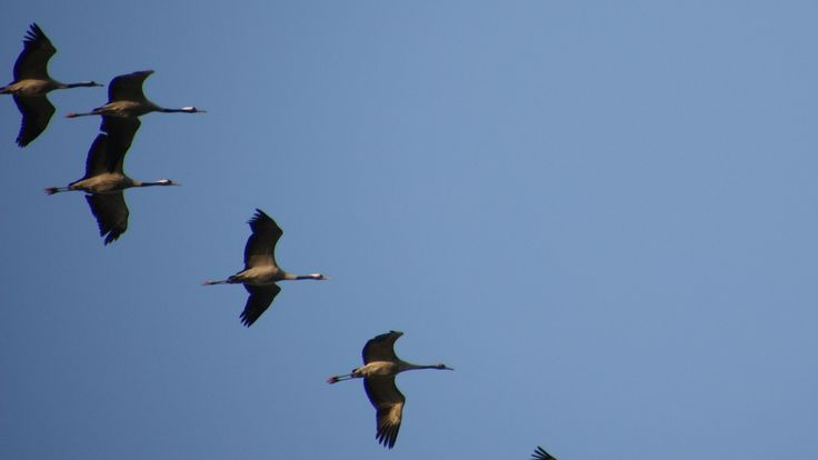 Kraanvogels (Common cranes) - Grus grus