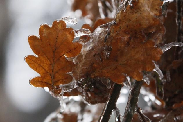 Tree leaves are covered with ice after freezing rain in Toronto