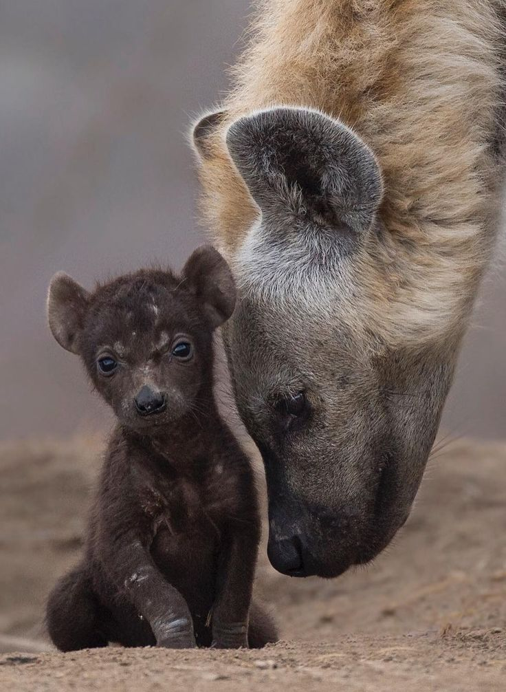 Baby Hyena & her Mother