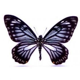 Vlinders :: Chilasa osmana