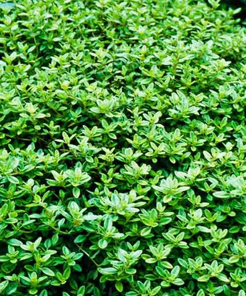253 Best Images About Ground Covers On Pinterest Plants