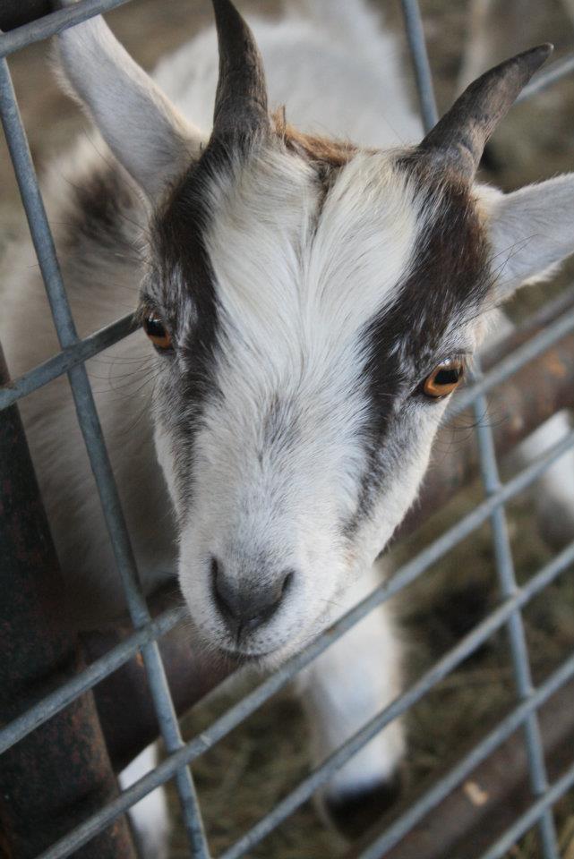 Billy Goat Goats, Pygmy goat, Farm animals