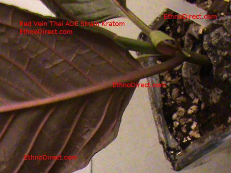 Red Vein Kratom Plants