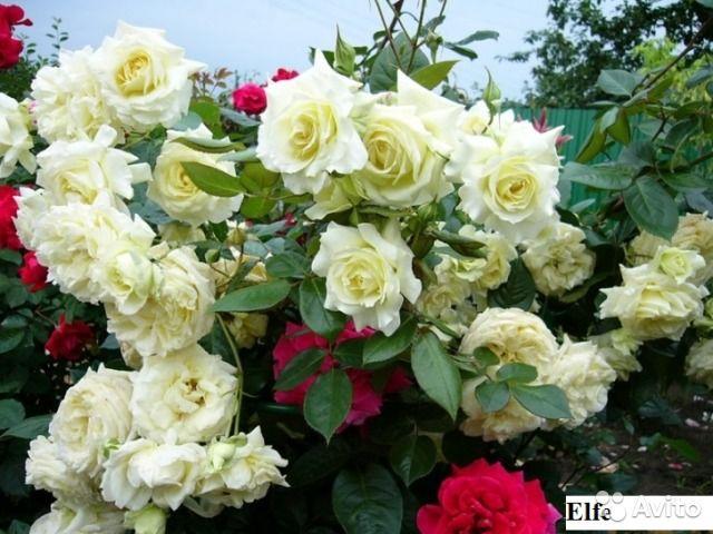 Кусты роз садовых (окулянты 2017), сирень — фотография №10