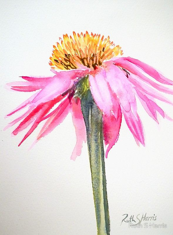 A single pink echinacea flower painted in watercolour on a white background…. simple and elegant. / The original work measures 5.5″ × 7.5″ and is painted on Fabriano Artistico paper. • Buy this artwork on stickers, stationery und wall prints.