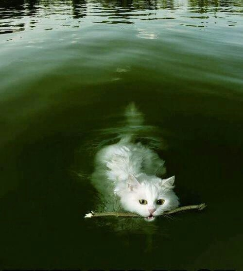 A nadar! I think this kitty is a little mixed up!!! Must have had too much catnip!!! He just jumped off the deck!!