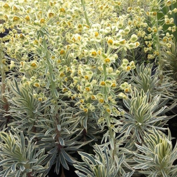 Euphorbe - Euphorbia chara. Emmer Green