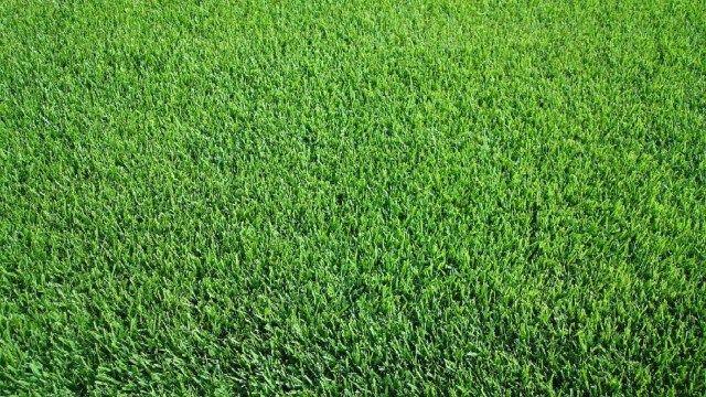 jenis rumput taman rumah bagus 008 manila